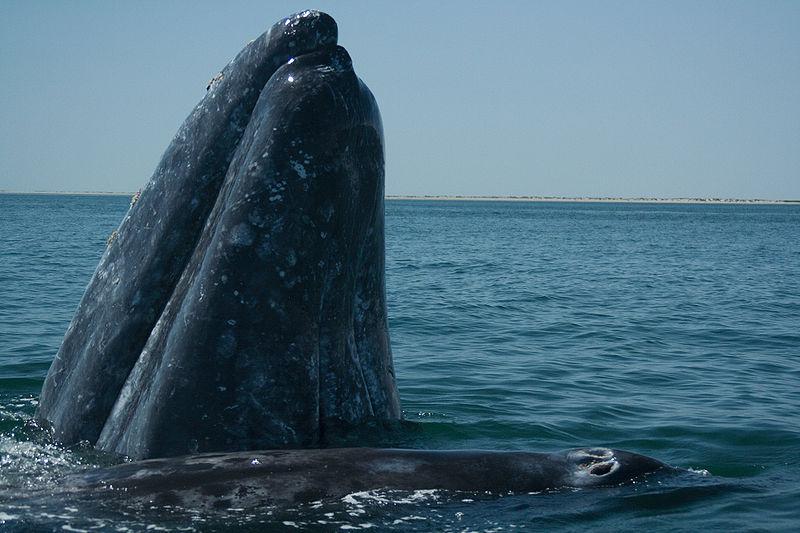 La ballena gris, un animal con un muy complejo modelo de comunicación.